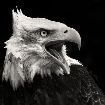 Aigle chauve américain sur Vincent Willems