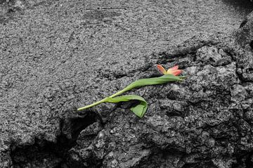Tulp op de rotsen von John Wiersma