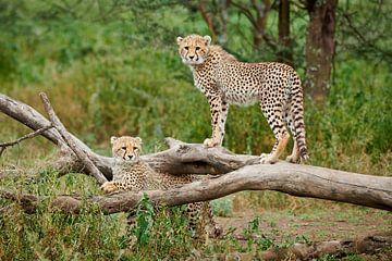 twee jonge cheeta's, Acinonyx jubatus, in Serengeti van Jürgen Ritterbach
