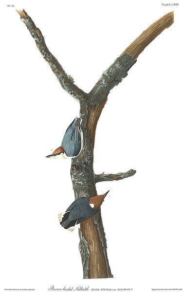 Bruinkopboomklever van Birds of America