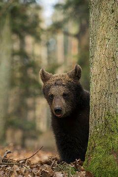 Cub of European Brown Bear (Ursus arctos ), cute animal child, hiding behind a tree, looks quite fun van wunderbare Erde