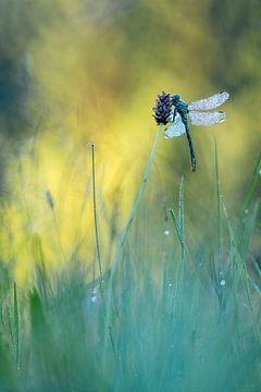 pronken in het gras van Maria  Van Dijk