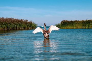 Schwan im friesischen Lauwersmeer von Sharona de Wolf