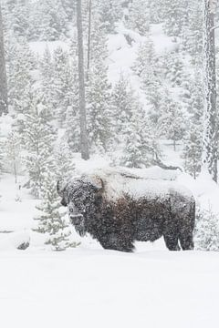 in winter... American Bison  *Bison bison* in falling snow van