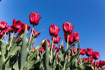 Rode tulpen van Neil Kampherbeek