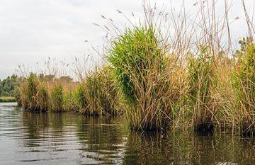 Rietplanten in de Biesbosch van Ruud Morijn