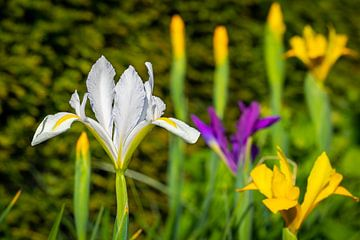 Iris à fleurs sur Hans Jansen - Lynxs Photography