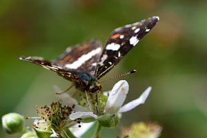 Een portret van een Vlinder