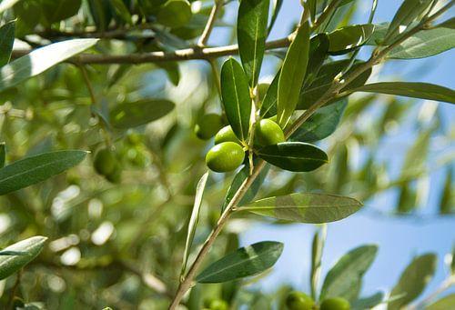 olijf 2