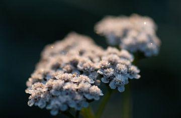 gefrorene Wildblume von Tania Perneel