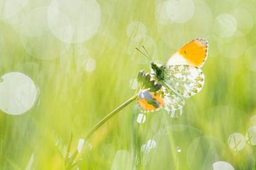 Orangene Spitze am Morgen von Elles Rijsdijk