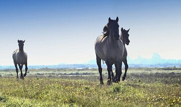 Galopperende Konik Paarden van Ger Bosma