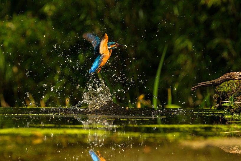 IJsvogel met vangst van Joke Beers-Blom
