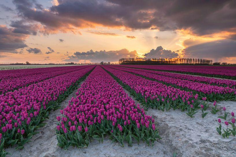 Sunset tulipfield van Jan Koppelaar