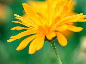 Gelbe Blume von