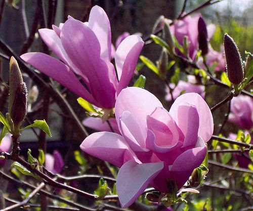 Magnolia Nigra