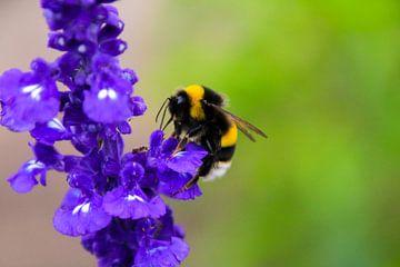 Biene auf einer Blume von Stedom Fotografie