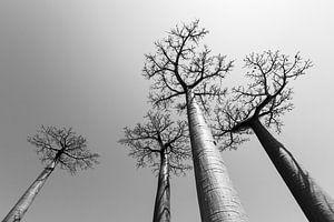 Baobabs in grijs