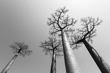Baobabs in grijs von Dennis van de Water