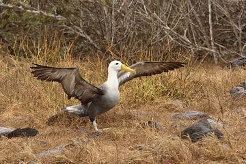 Albatros breitet seine Flügel aus von Frank Heinen