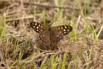 Pelziges Sandauge. Schmetterling von Anjella Buckens