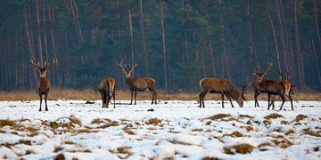 Edelherten in het Nationaal Park de Hoge Veluwe van Evert Jan Kip
