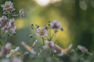Anemone tomentosa von Tania Perneel