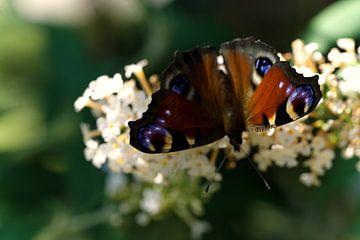 dagpauwoog vlinder op witte sering van joyce kool