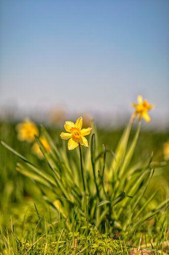 Lente, Narcissen