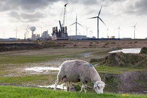 """Een grazend schaap nabij de """"Energy Valley"""" in  Groningen / 2014"""