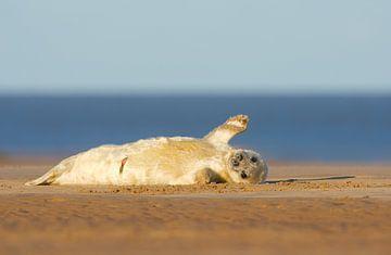 Jonge Grijze Zeehond zwaait vanaf het strand van Jeroen Stel