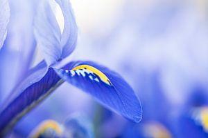 Blaue Iris von Mark Dankers