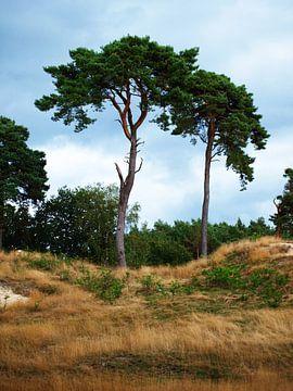 Twee naaldbomen op de Veluwe sur Rinke Velds