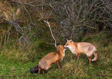 groetende vossen van Eelke Cooiman