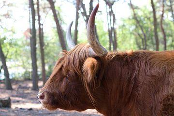 Buffel van Jannie Zijderveld