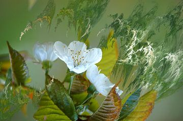 Fleurs de cerisier tourmentées von Christine GUILLET