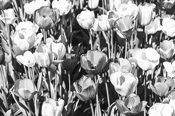 Zwart-wit tulpen van