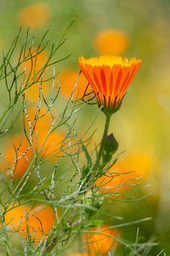 ontluikende bloem van Ronenvief