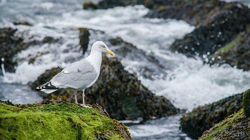Zeemeeuw op de rotsen bij de kust