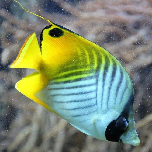 Fähnchen-Falterfisch (Chaetodon auriga) von