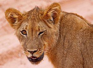 Junger Löwe - Afrika wildlife
