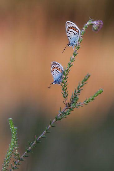 vlinder van Daan de Vos