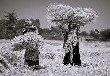 Women in Rajasthan harvesting crops van Koen Hoekemeijer