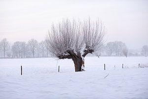 Knotwilg in winters landschap