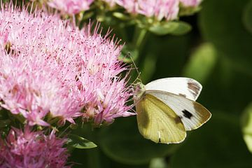 Koolwitte vlinder op zoek naar nectar van Anja Bagunk