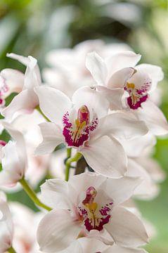 Orchidee 3 van John van Weenen