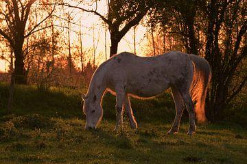 Paard in de avondzon van