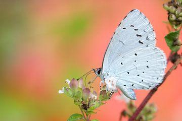 Boomblauwtje (celastrina argiolus) op wacht  van jordan blaauw