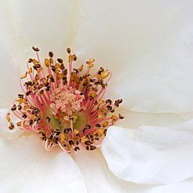 Macro opname van een roos van W J Kok