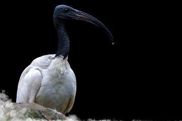 Zwartkop Ibis